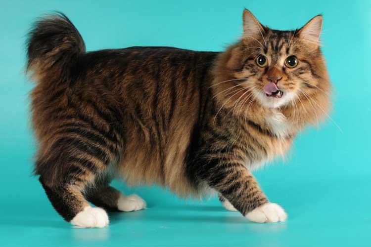 Bentuk fisik ras kucing american bobtail