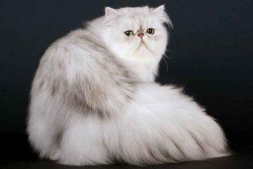 Kucing Persia salah satu kucing hias di Indonesia