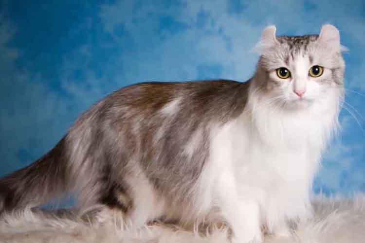 Kucing American Curl salah satu kucing hias di Indonesia