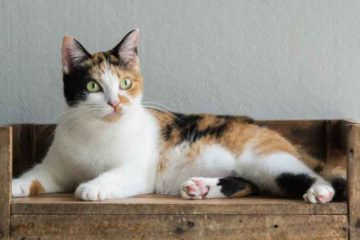 Kucing Belang Tiga Jantan