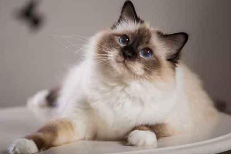 Kucing Birman Kucing Hias Indonesia