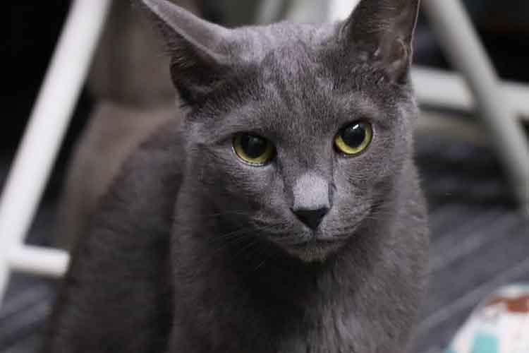 Kucing Russian Blue Kucing Hias Indonesia
