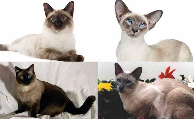 Jenis kucing siam atau siamese