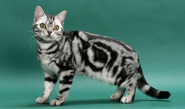Kucing american shorthair yang merupakan kucing bulu pendek