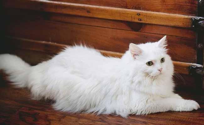 Cara Merawat Kucing Persia Yang Benar Dan Murah
