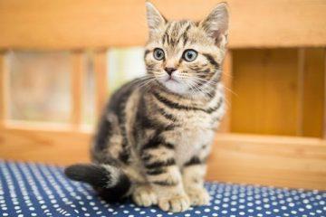 Fakta Kucing Kampung