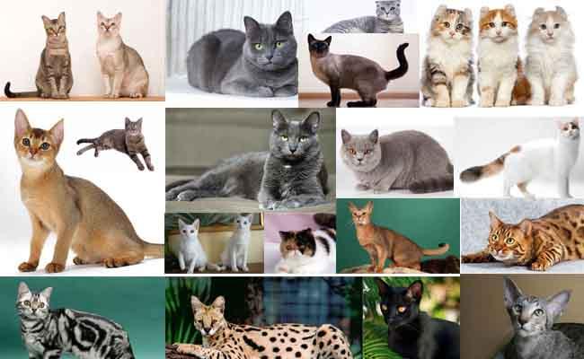 20 Jenis Kucing Bulu Pendek Dari Seluruh Dunia