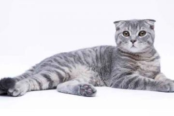 Jenis Kucing Scottish Fold
