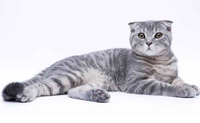 Jenis Kucing Scottish Fold Harga Terbaru & Cara Merawat