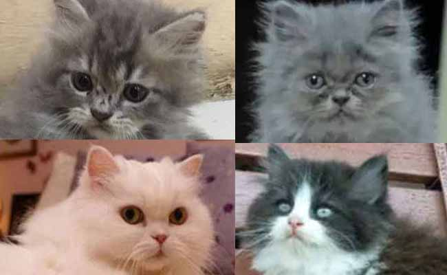Jenis Kucing Persia Flatnose Harga Dan Cara Merawat