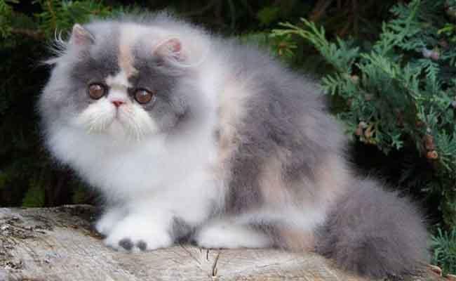Jenis Kucing Persia Peaknose : Harga Dan Cara Merawat
