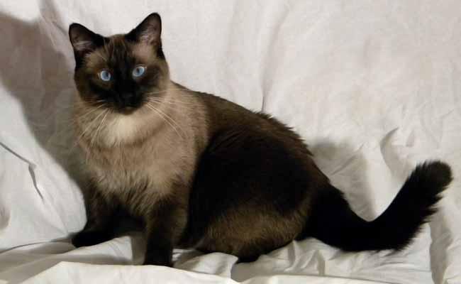 Applehead Siamese Cat
