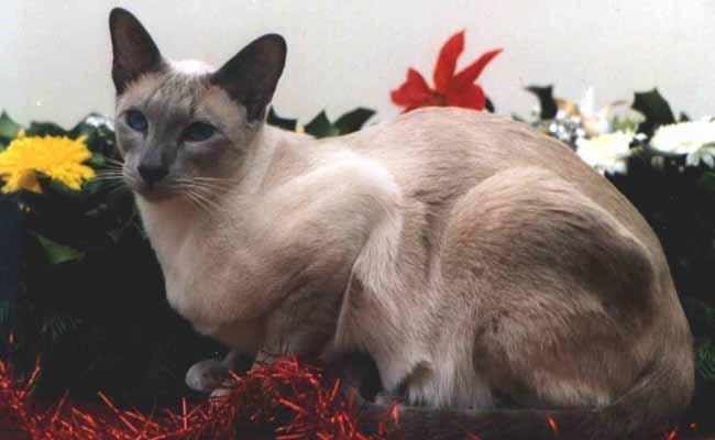 Jenis Kucing siam klasik atau (Classic Siamese Cat)