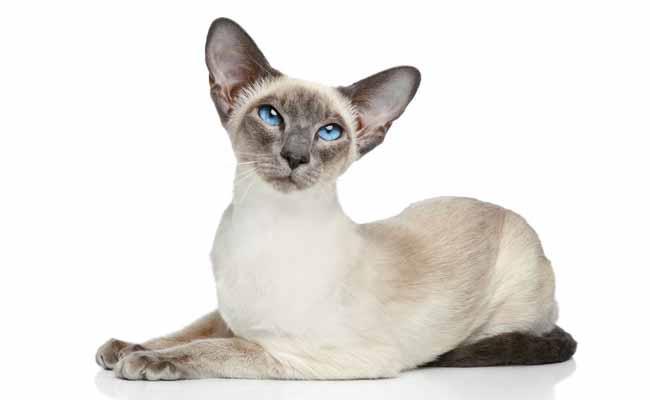 Jenis Kucing Siam Modern atau Modern Siamese Cat