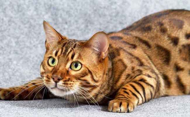 Kucing Bengal Bulu Pendek