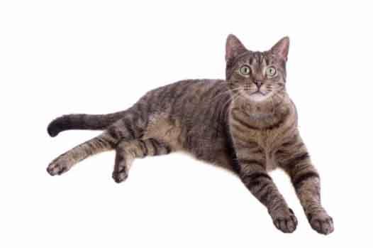 Kucing European Shorthair yang berbulu pendek
