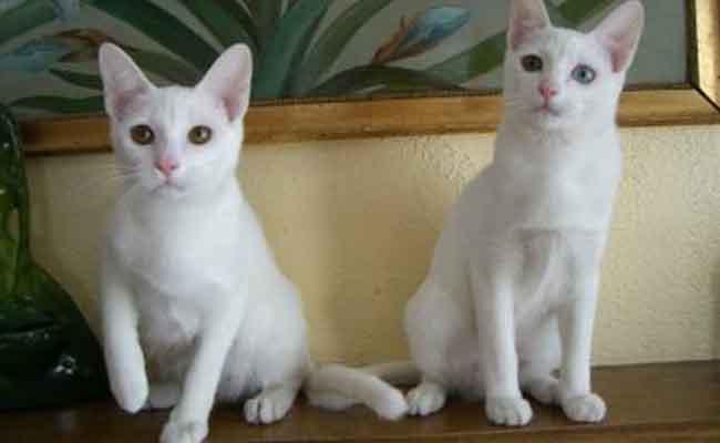 Kucing Khao Manee asal thailand