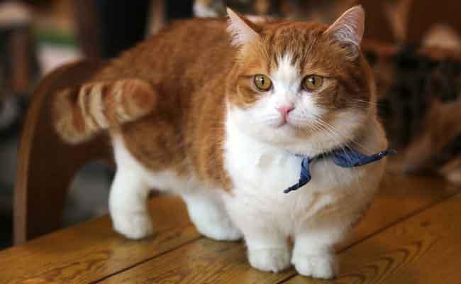 Kucing Munchkin Berbulu Pendek