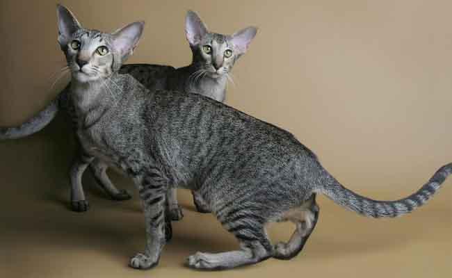 Kucing Oriental Shorthair jenis kucing bulu pendek