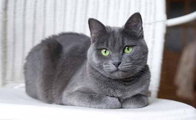 Kucing Bulu Pendek Russian Blue