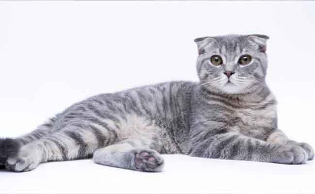 Kucing Scottish Fold jenis kucing bulu pendek