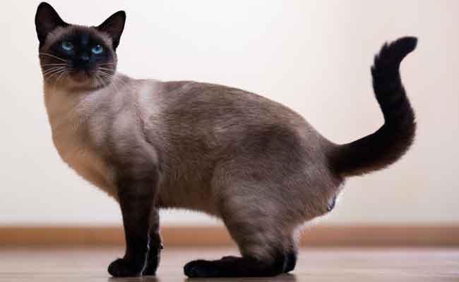 Kucing Siamese salah satu jenis kucing bulu pendek