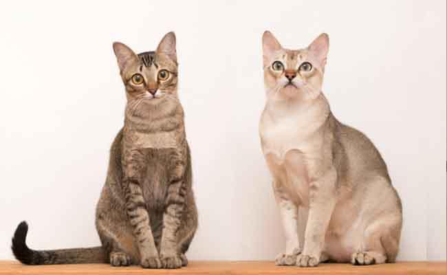Kucing Singapura berbulu pendek