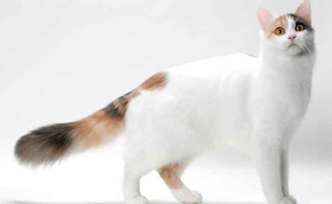Kucing Turkish Shorthair yang berbulu pendek