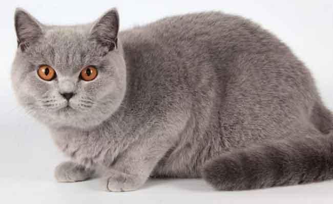 Kucing Bulu Pendek British Shorthair