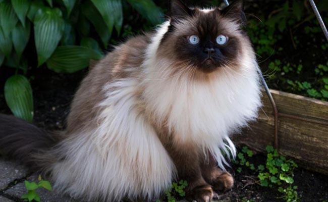 10 Cara Merawat Kucing Himalaya dengan Benar