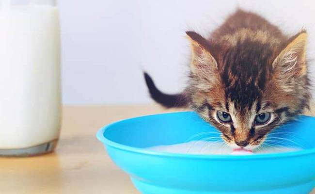 Minuman untuk kucing kampung
