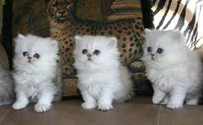 Perawatan anak kucing persia