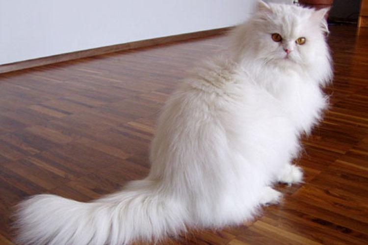 15 Cara Merawat Kucing Persia Yang Benar Dan Murah