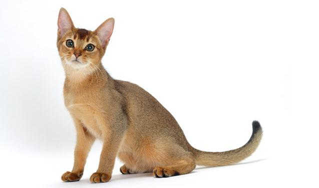Kucing abyssinian jenis kucing bulu pendek