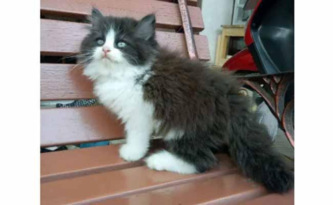 Kucing persia flatnose longhair