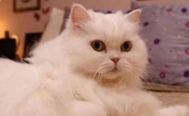 Jenis Kucing Persia Flatnose Putih