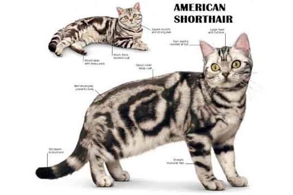Kucing American Shorthair : Berumur Panjang & Sehat
