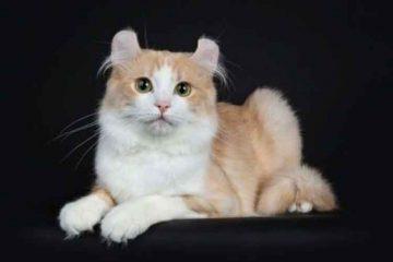 Kucing ras american curl