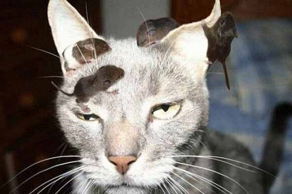 Leptospirosis Pada Kucing