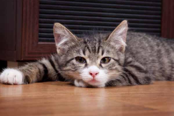 Virus Parvo Pada Kucing