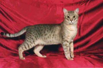 Kucing Keuda Amerika