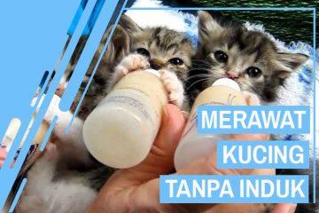 Merawat Kucing Lahir Tanpa Induk