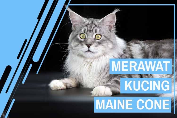 Cara Merawat Kucing Maine Cone