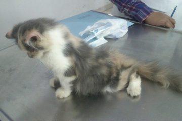 Merawat kucing lumpuh