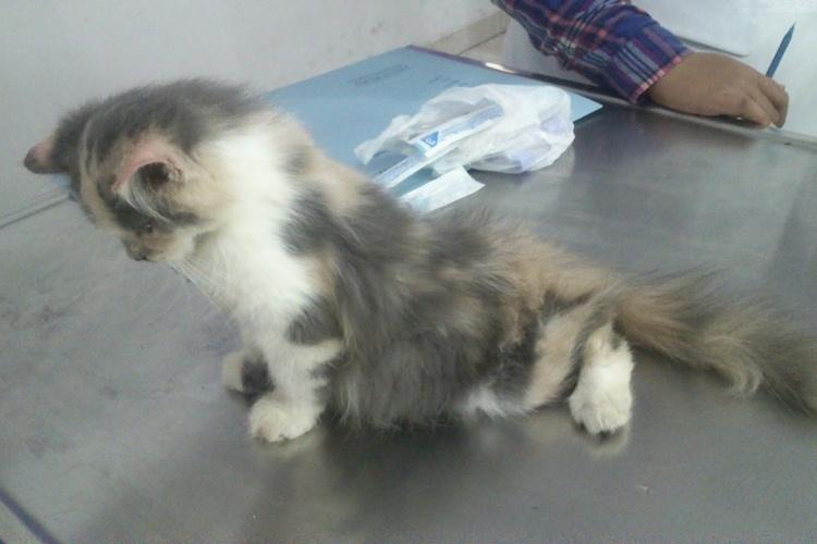 11 Cara Merawat dan Mengobati Kucing Lumpuh