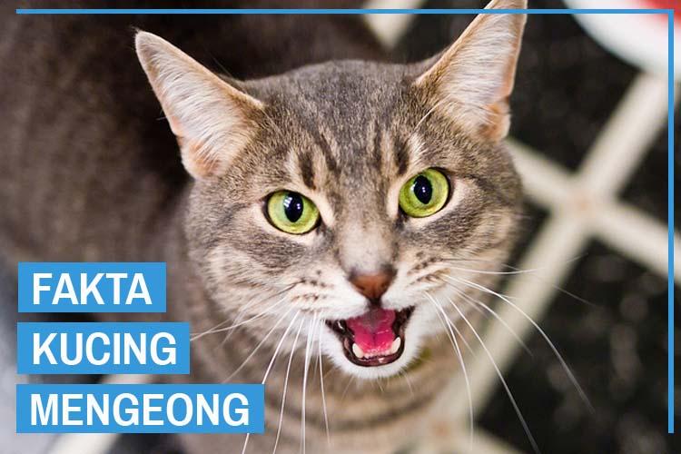 Mengejutkan! Inilah 11 Fakta Kucing Mengeong