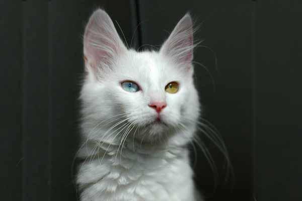 Kucing anggora warna putih mata ganjil