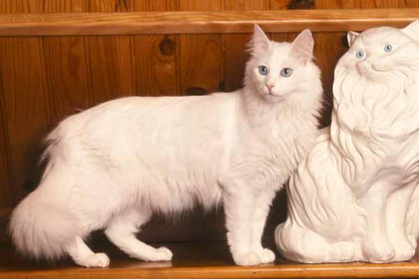 Kucing Turkish Anggora (Kucing Ankara)