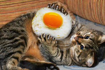 Manfaat kuning telur bagi kucing