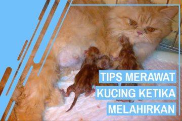 Cara merawat kucing ketika melahirkan